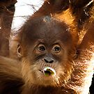 &quot;Dewi&quot; - Orang-utan by Sophie Lapsley