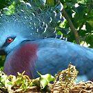 Victorian Crowned Pigeon by Karen Tregoning
