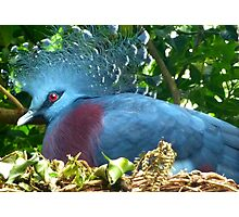 Victorian Crowned Pigeon Photographic Print