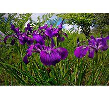 Iris Delight ~ Wild Iris ~ Photographic Print