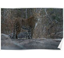 Leopard - Yala, Sri Lanka Poster