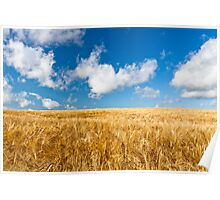 Wheat field with blue sky Poster