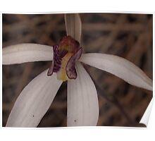 white fairy orchid Caladenia marginata Poster