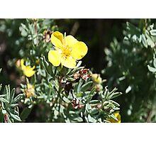Shrubby Cinquefoil -Dasiphora floribunda (Potentilla fruticosa) Photographic Print