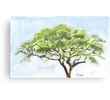 Acacia study Canvas Print