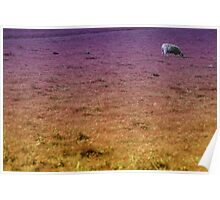 lonley sheep Poster