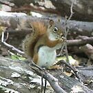 Curious Red Squirrel by caybeach