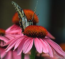 Hello Says the Eastern Tiger Swallowtail  by Bill Spengler