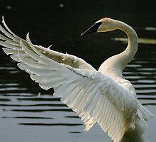 Trumpeter Swan by Neil Weaver