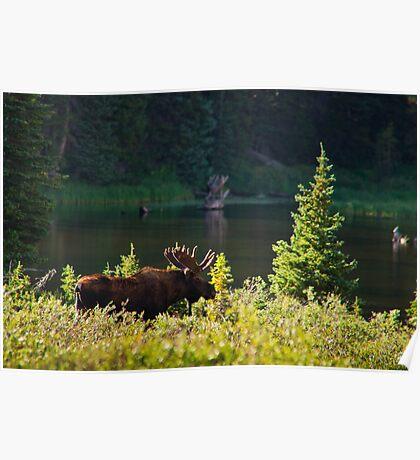 Moose At Brainard Poster