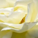 Creamy, Dreamy Rose.. by Carol Clifford