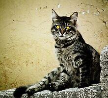 Street Cat in Istanbul III by kutayk