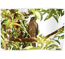Cooper's Hawk Catching A Breath Poster