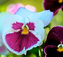 Spring Pansies by Renee Hubbard Fine Art Photography