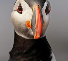 Puffin Portrait by Rob Lavoie