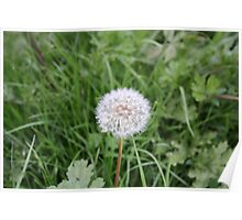 Dandelion With All It Petals On  Poster