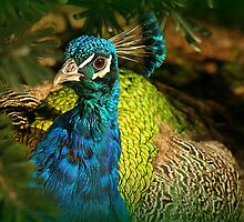 Looking Good Mr Peacock! by Karen Tregoning