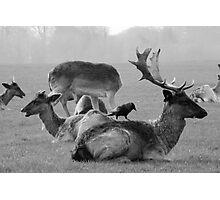Wild Deer & Blackbird, Phoenix Park, Dublin Photographic Print