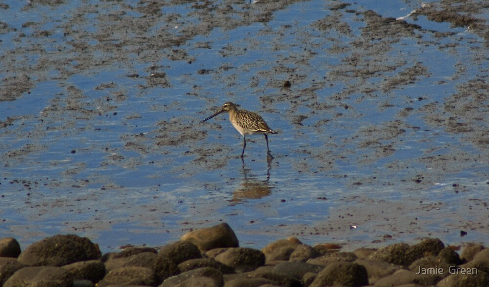 Bar-Tailed Godwit by Jamie  Green
