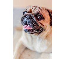 Pug Mops Dog (6815) Photographic Print