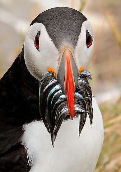 Puffin, Farnes Islands Northumberland. by michaelwallwork