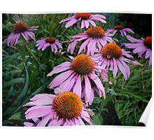 Echinacea Purpurea Maxima Poster