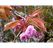 Gaeshi Cherry Blossom Photographic Print