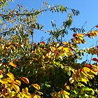 Cloudless Blue Sky and Autumn Leaves by BlueMoonRose