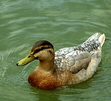 Duck swimming in the lake by Mechelep