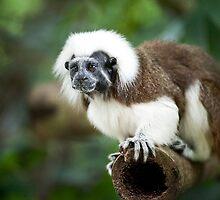 Primate: Javan langurs by Mark Lee