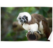 Primate: Javan langurs Poster