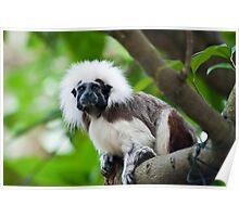 Primate: Javan lutung Poster