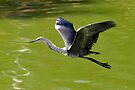 White Necked Heron - Coopers Creek by Alwyn Simple