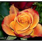 Pink Rose by Kevin Meldrum