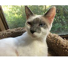 Pretty Kitty with Blue Eyes Photographic Print