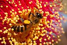Yallingup Bee by Dieter Tracey