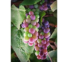 The colours of grape! Photographic Print