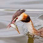 Great Crested Grebe by M.S. Photography & Art
