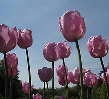 Pink Tulips by Charley Z