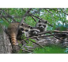 Young Raccoon Photographic Print