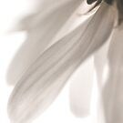 White Mum Petals by marycarnahan