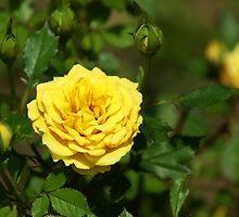 Mama's Yellow Roses by Linda Yates