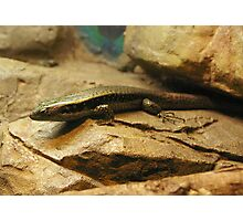 Eastern Water Skink Photographic Print
