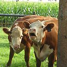 Talking Cows- MacNaughton Farm, Grand Ledge, Michigan by Melissa Delaney