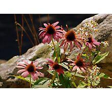 Purple Cone Flower,Echinacea Photographic Print