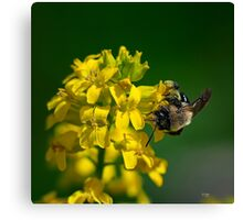 Fanfare For The Common BumbleBee Canvas Print