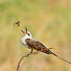 Scissor-tailed Flycatcher and Spider by photosbyjoe
