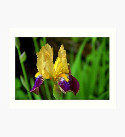 Beautiful Iris Art Print