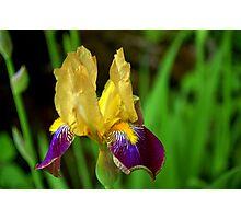 Beautiful Iris Photographic Print