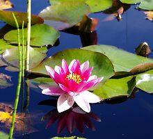 Water Lily by LinneaJean